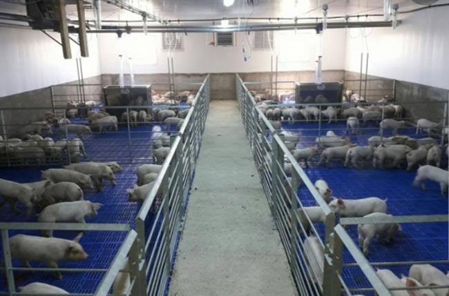 APIA efectuează plata beneficiarilor Măsurii M215 – Plăţi privind bunăstarea animalelor – pachet a) Plăţi în favoarea bunăstării porcine
