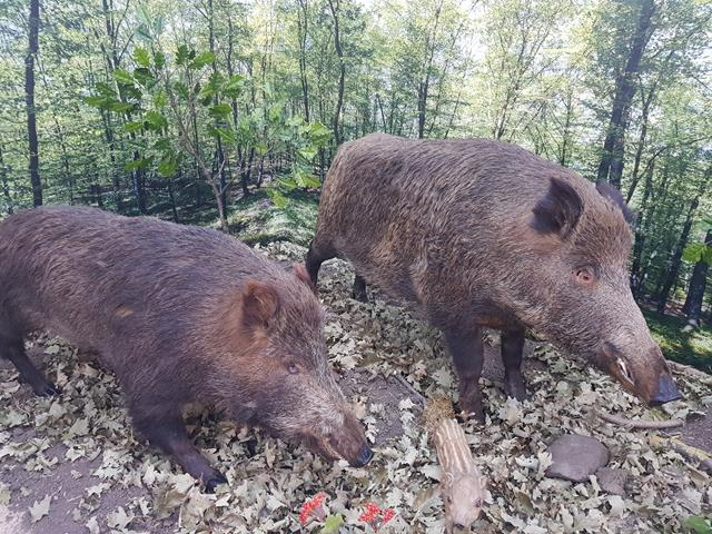 Virusul Pestei Porcine Africane depistat la un număr de 11 mistreți gasiți morți  pe un fond de vânătoare din județul Botoșani